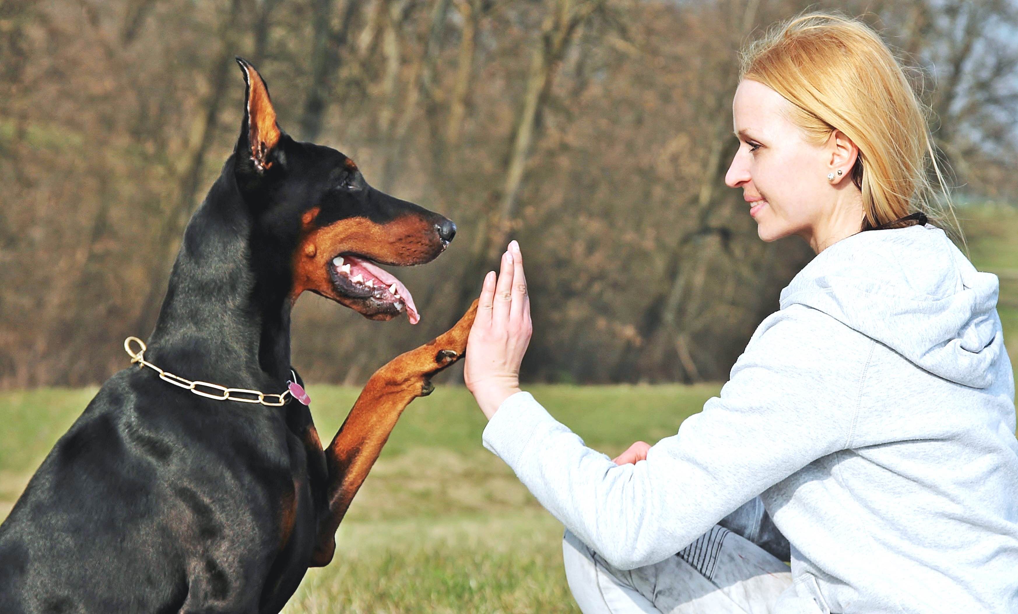 dressage doberman